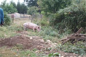 Schwein& serre